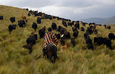 Chagra cowboy on an overnight ride at a hacienda to herd cattle, Andes Mountains, Ecuador  -  Pete Oxford