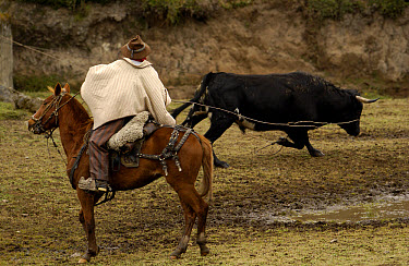 Chagra cowboy roping a bull at a hacienda during the annual round-up, Andes Mountains, Ecuador  -  Pete Oxford