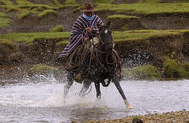 Chagra cowboy riding fast on his Domestic Horse (Equus caballus) through a stream at a hacienda during the annual cattle round-up, near Cotopaxi Volcano, Andes Mountains, Ecuador  -  Pete Oxford