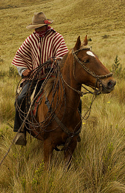 Chagra cowboy on his Domestic Horse (Equus caballus) in Paramo habitat at a hacienda during the annual cattle round-up, Andes Mountains, Ecuador  -  Pete Oxford