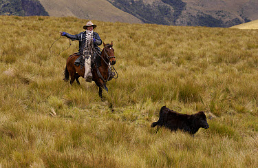Chagra cowboy roping a calf in Paramo habitat at a hacienda during the annual cattle round-up, Andes Mountains, Ecuador  -  Pete Oxford