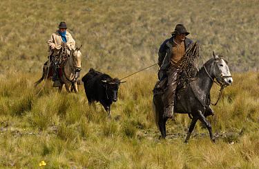 Chagra cowboy with a bull he has roped on an overnight ride at a hacienda during the annual cattle round-up, Andes Mountains, Ecuador  -  Pete Oxford