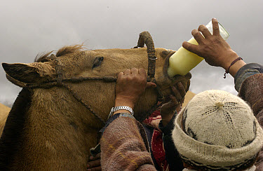 Chagra cowboy giving medicine to his horse during an overnight ride at a hacienda for the annual cattle round-up, near Cotopaxi Volcano, Andes Mountains, Ecuador  -  Pete Oxford