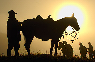 Chagra cowboys saddling up their horses in the early morning mist at a hacienda during the annual overnight cattle round-up, Andes Mountains, Ecuador  -  Pete Oxford