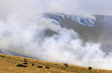 Chagra cowboys herding cattle and burning the hillsides to keep cattle on the move and rejuvenate the pasture at a hacienda during the annual overnight cattle round-up, Andes Mountains, Ecuador  -  Pete Oxford