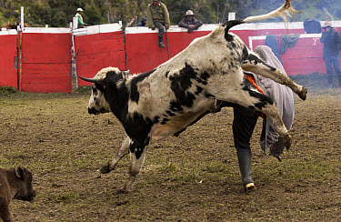 Domestic Cattle (Bos taurus) being caught for branding in a corral by Chagra cowboys at a hacienda during the annual overnight cattle round-up, Andes Mountains, Ecuador  -  Pete Oxford