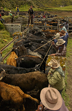 Domestic Cattle (Bos taurus) being caught and branded in a corral by Chagra cowboys at a hacienda during the annual overnight cattle round-up, Andes Mountains, Ecuador  -  Pete Oxford