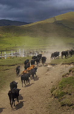 Domestic Cattle (Bos taurus) being herded by Chagra cowboys at a hacienda during the annual overnight cattle round-up, Andes Mountains, Ecuador  -  Pete Oxford