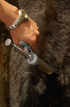 Chagra cowboy vaccinating cattle at a hacienda during the annual round-up in the Andes Mountains, Ecuador  -  Pete Oxford