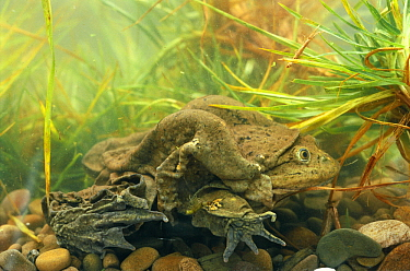 Lake Titicaca Frog (Telmatobius culeus) view showing extensive skin folds which help with oxygen absorption, Lake Titicaca, Andes Mountains, Bolivia and Peru, South America