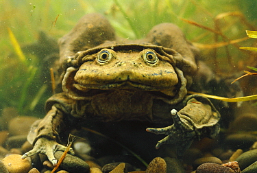 Lake Titicaca Frog (Telmatobius culeus) showing extensive skin folds which help with oxygen absorption, Lake Titicaca, Andes Mountains, Bolivia and Peru