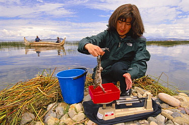 Biologist weighing a Giant Titicaca Frog while men in a canoe search for frogs, Lake Titicaca, Bolivia and Peru