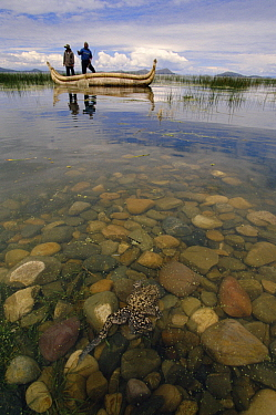 Lake Titicaca Frog (Telmatobius culeus) the world's largest aquatic frog, swimming in foreground with researchers in a canoe in background at Lake Titicaca, Andes Mountains, Bolivia and Peru, critical...