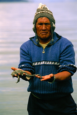 Lake Titicaca Frog (Telmatobius culeus) the world's largest aquatic frog, held by researcher at Lake Titicaca at 13,000 feet elevation, Andes Mountains, Bolivia and Peru, critically endangered