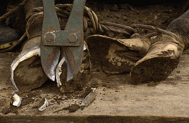 Chagra or cowboy trimming a horse's hooves at a hacienda in the Andes Mountains during the annual cattle round-up, Ecuador  -  Pete Oxford