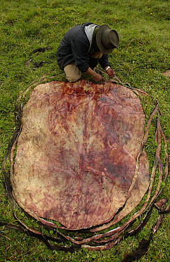 Chagra cowboy cutting bull hide to make ropes, lassos and bridles, at a hacienda in the Andes Mountains during the annual cattle round-up, Ecuador  -  Pete Oxford