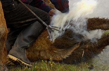 Cattle branding at a hacienda in the Andes Mountains during the annual cattle round-up, Ecuador  -  Pete Oxford