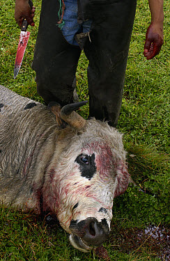 Domestic Cattle (Bos taurus) bull killed for meat at a hacienda in the Andes Mountains, Ecuador  -  Pete Oxford