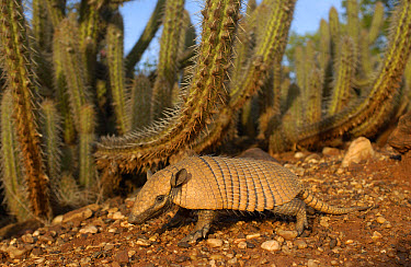 Yellow Armadillo (Euphractus sexcinctus) walking beneath a cactus, Caatinga habitat, South America  -  Pete Oxford