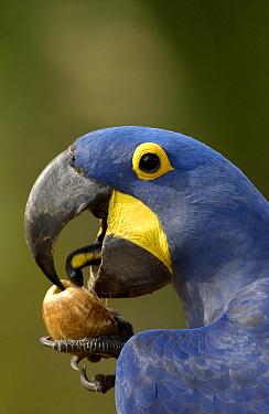 Hyacinth Macaw (Anodorhynchus hyacinthinus) cracking open a Piassava Palm (Attalea funifera) nut to drink the milk, Brazil  -  Pete Oxford