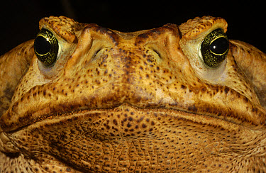Cururu Toad (Bufo paracnemis) close-up portrait of face, found in open, dry areas throughout central South America, Cerrado habitat, Piaui State, Brazil  -  Pete Oxford