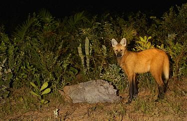 Maned Wolf (Chrysocyon brachyurus) foraging at night in a hollow log in Cerrado habitat, South America  -  Pete Oxford