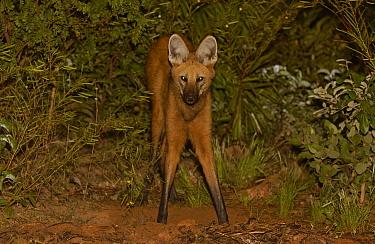 Maned Wolf (Chrysocyon brachyurus) at night in Cerrado grassland, South America  -  Pete Oxford