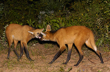 Maned Wolf (Chrysocyon brachyurus) pair greeting each other at night in Cerrado grassland, South America  -  Pete Oxford