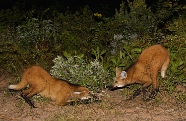 Maned Wolf (Chrysocyon brachyurus) pair greeting each other at night in Cerrado grassland, one in submissive posture, South America  -  Pete Oxford
