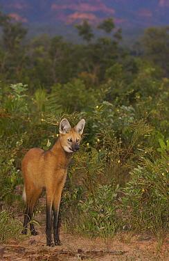 Maned Wolf (Chrysocyon brachyurus) at dusk in Cerrado grassland, South America  -  Pete Oxford