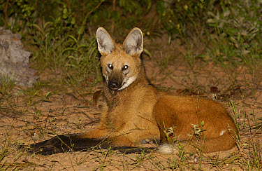 Maned Wolf (Chrysocyon brachyurus) at night in Cerrado habitat, South America  -  Pete Oxford