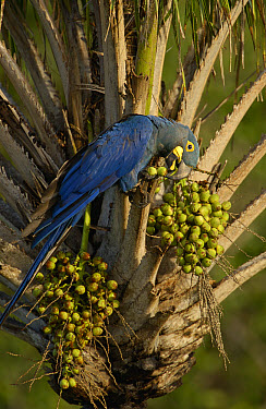 Lear's Macaw (Anodorhynchus leari) feeding on palm nuts, less than 500 survive in the wild, Brazil  -  Pete Oxford