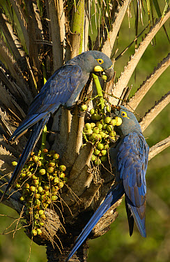 Lear's Macaw (Anodorhynchus leari) pair, feeding on palm nuts, less than 500 survive in the wild, Brazil  -  Pete Oxford