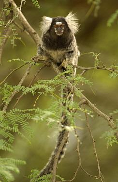 Common Marmoset (Callithrix jacchus) portrait in tree, Brazil  -  Pete Oxford