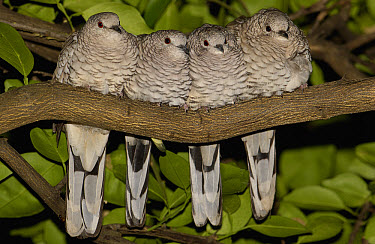 Scaled Dove (Columbina squammata) four huddled together on branch, Brazil  -  Pete Oxford