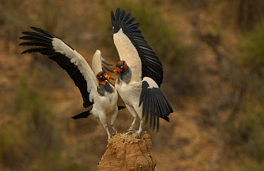 King Vulture (Sarcoramphus papa) pair competing for space on rock outcrop, South America  -  Pete Oxford