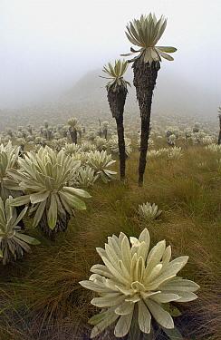 Paramo Flower (Espeletia pycnophylla) in Paramo habitat, endemic species, Paramo, El Angel Reserve, northeastern Ecuador  -  Pete Oxford