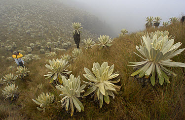 Paramo Flower (Espeletia pycnophylla) being photographed by a tourist in Paramo habitat, endemic species, El Angel Reserve, northeastern Ecuador  -  Pete Oxford