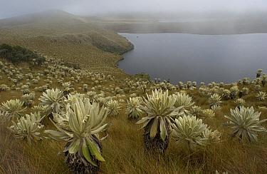 Paramo Flower (Espeletia pycnophylla) and lake in Paramo habitat, endemic species, Paramo, El Angel Reserve, northeastern Ecuador  -  Pete Oxford