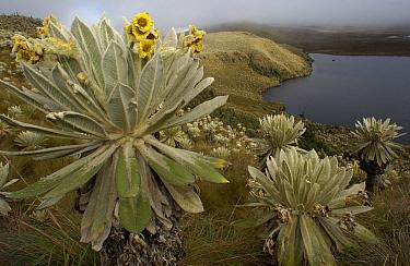 Paramo Flower (Espeletia pycnophylla) flowering, and lake in Paramo habitat, endemic species, El Angel Reserve, northeastern Ecuador  -  Pete Oxford