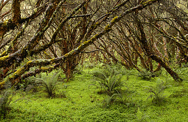 Polylepis (Polylepis incana) forest, an important source for fuel wood for local people, El Angel Reserve, Paramo, Andes Mountains, northeastern Ecuador  -  Pete Oxford