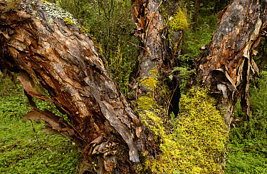 Polylepis (Polylepis incana) forest, showing typical flaky bark, these trees are an important fuel source for local people, El Angel Reserve, Paramo, Andes Mountains, northeastern Ecuador  -  Pete Oxford