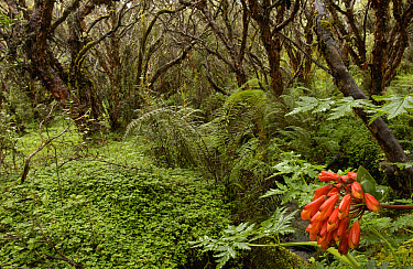Polylepis (Polylepis incana) forest and stream, the trees are an important source of fuel for local people, El Angel Reserve, Paramo, Andes Mountains, northeastern Ecuador  -  Pete Oxford