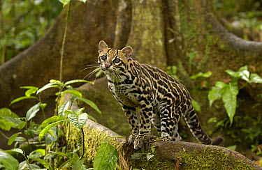 Ocelot (Leopardus pardalis) standing on buttress root on the forest floor in the Amazon rainforest, Ecuador  -  Pete Oxford