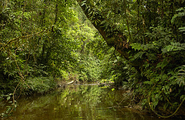 River and trees in the Amazon rainforest, Ecuador  -  Pete Oxford