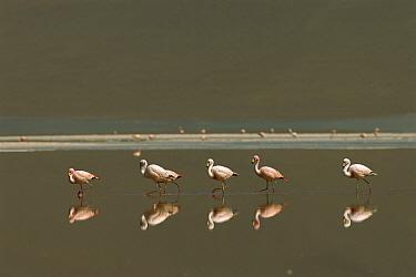 Puna Flamingo (Phoenicopterus jamesi) flock wading in lake in their breeding grounds, Laguna Colorada, Eduardo Avaroa Faunistic Reserve, Andes Mountains, southwestern Bolivia  -  Pete Oxford