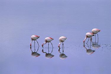 Puna Flamingo (Phoenicopterus jamesi) flock feeding in Laguna Blanca, Eduardo Avaroa Faunistic Reserve, Andes Mountains, southwestern Bolivia  -  Pete Oxford