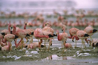 Andean Flamingo (Phoenicopterus andinus) flock nesting in their breeding grounds, Laguna Colorada, Eduardo Avaroa Faunistic Reserve, Andes Mountains, Southwestern Bolivia  -  Pete Oxford
