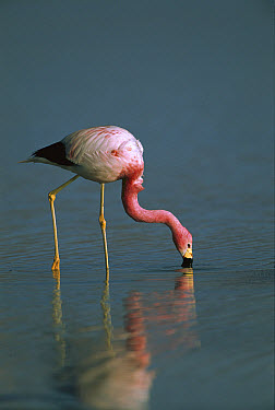 Andean Flamingo (Phoenicopterus andinus) feeding, Laguna Blanca, Eduardo Avaroa Faunistic Reserve, Andes Mountains, southwestern Bolivia  -  Pete Oxford