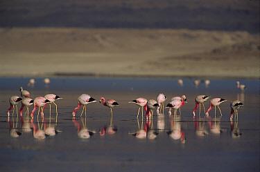 Andean Flamingo (Phoenicopterus andinus) flock feeding, Laguna Hedionda, Andes Mountains, southwestern Bolivia  -  Pete Oxford